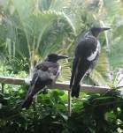 Part of our magpie family