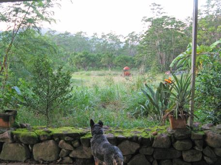 Misty, the dog, looking at garden before we weeded it