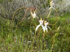 White spider orchid, caladenia longicordia