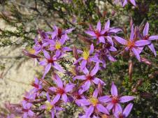 Star flower, calytrix