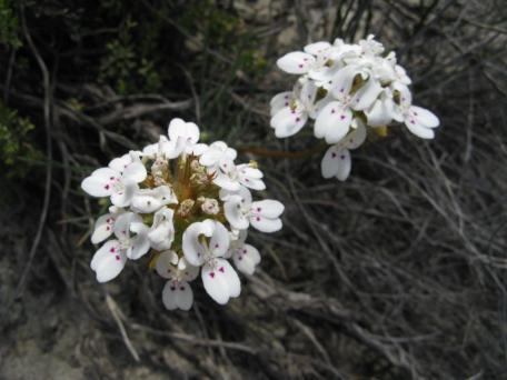 Stylidium, trigger flower