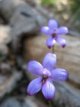 blue enamel orchid