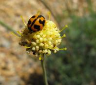 Lady bird on unknown flower