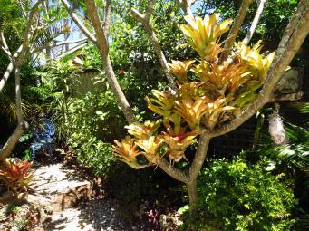 Bromeliad in frangipani branches