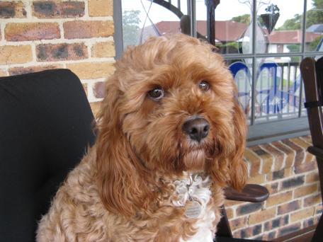 Thunder the Cavoodle