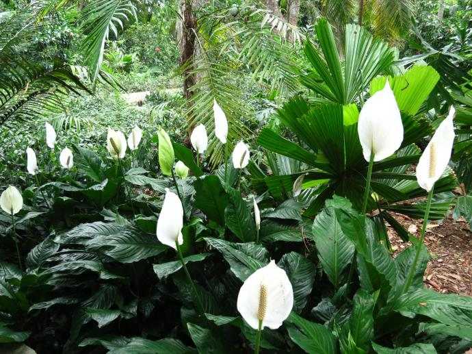 Peace lilies glowing white in the under growth