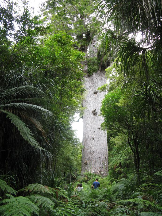 """Tane Mahuta """"Lord of the Forest"""""""