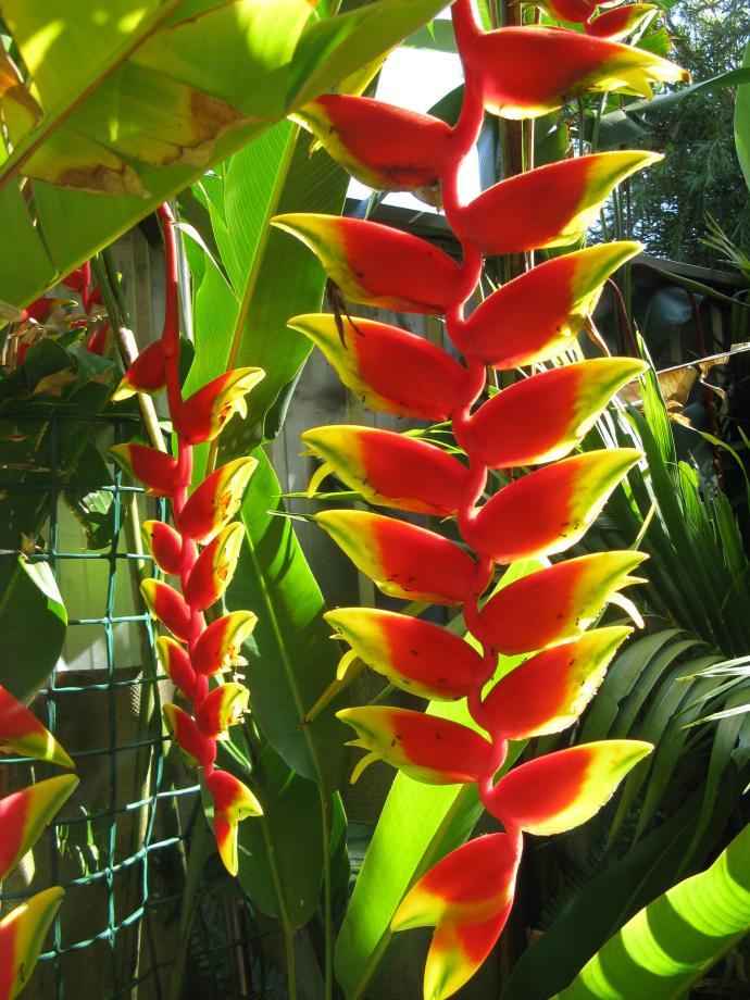 Amazing heliconias