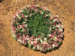 Wreath flower lechenaultia