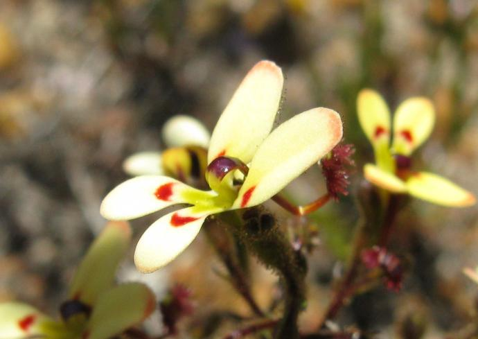 Stylidium, cow kicks
