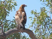 Black Falcon?