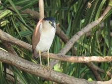 Rufous Night Heron