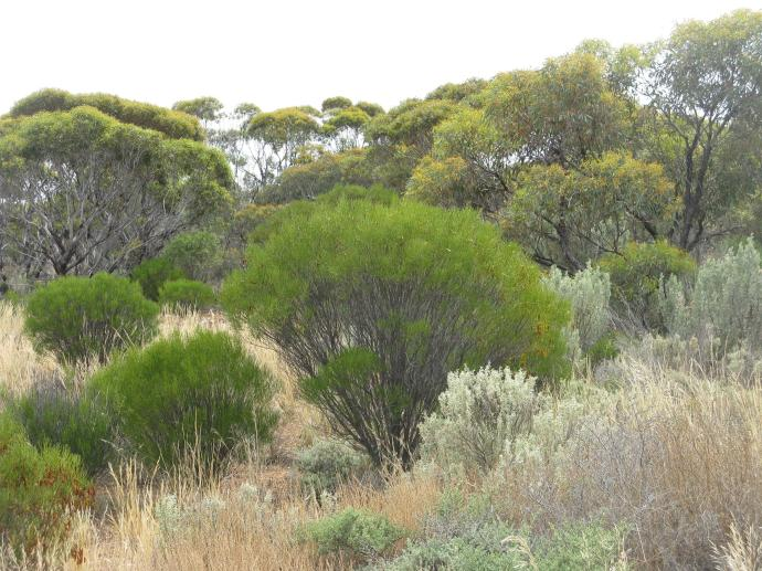 Western edge of the Nullabor plain so many shades of green