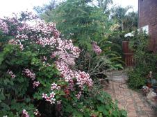 Side garden, Bauhinia vine