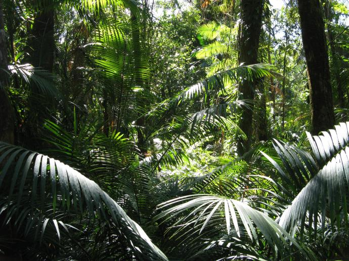 Tropical rainforest, Cape Tribulation