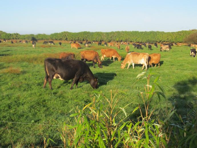 The lush Waikato pasture