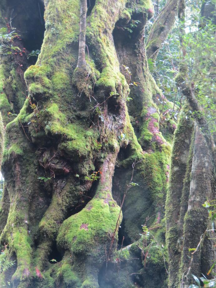 Knobbly moss covered trunk of Antarctic Beech