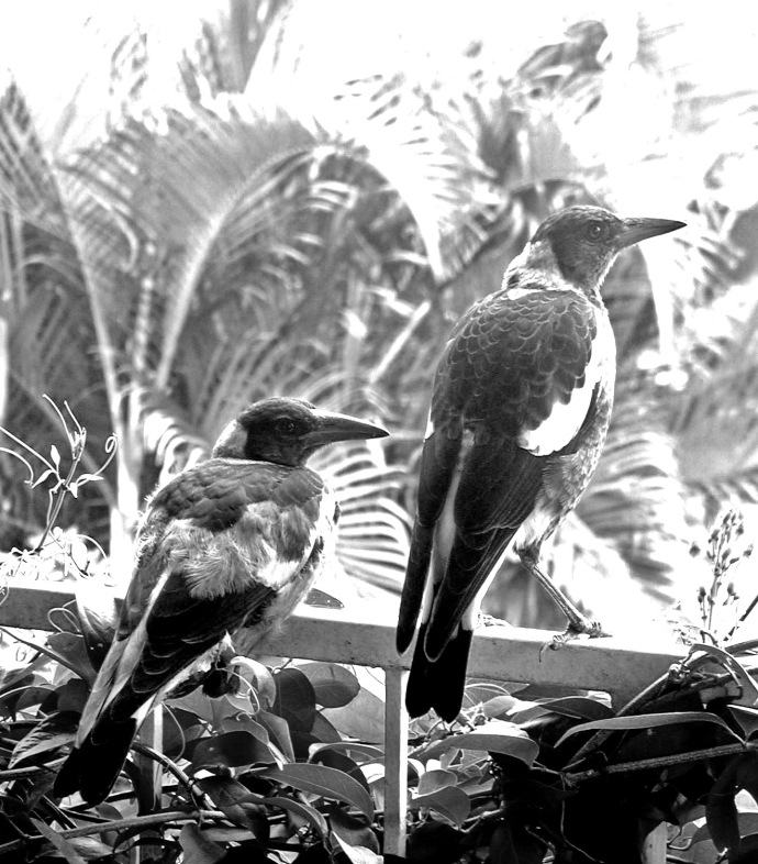 Young magpies resting on our front deck