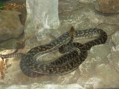 Python, carpet snake