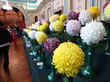 Rows and rows of magnificent chrysanthemums