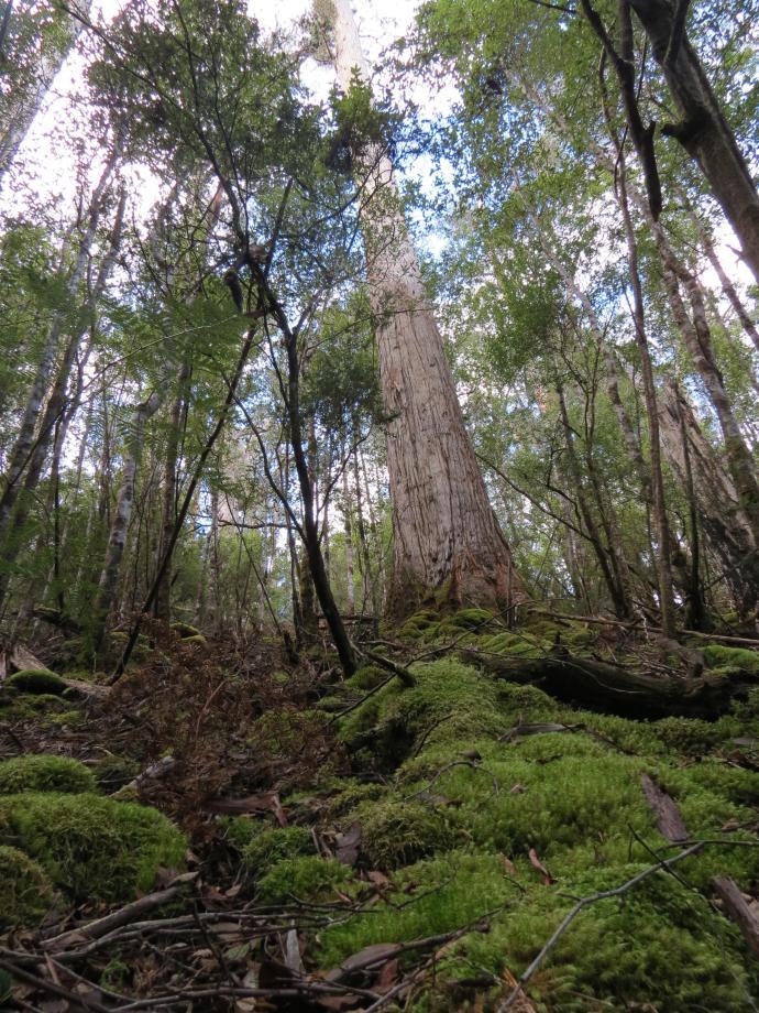 Swamp gum towering to 90 metres