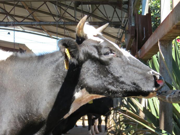 Friesen dairy cow