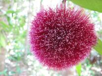It is a powder puff lilly pilly
