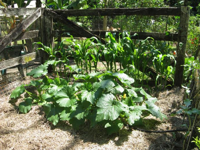 Courgettes and sweet corn