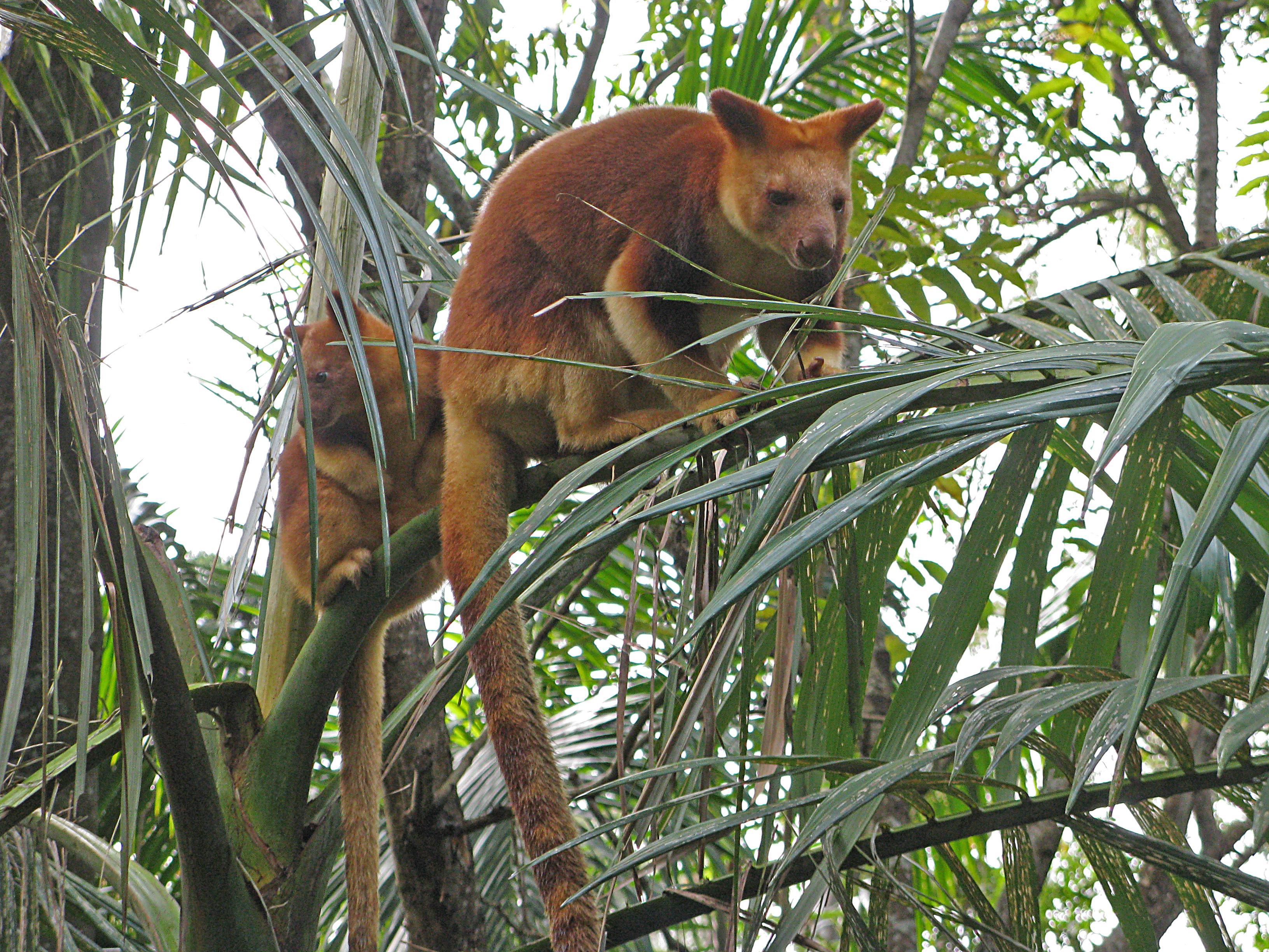 tree kangaroos Nightline travels to papua new guinea to see tree kangaroos, a rare and  endangered species, roam tree tops.