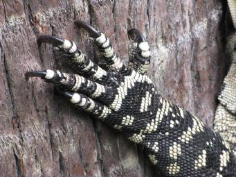 Intricate camouflage patterns of the goanna