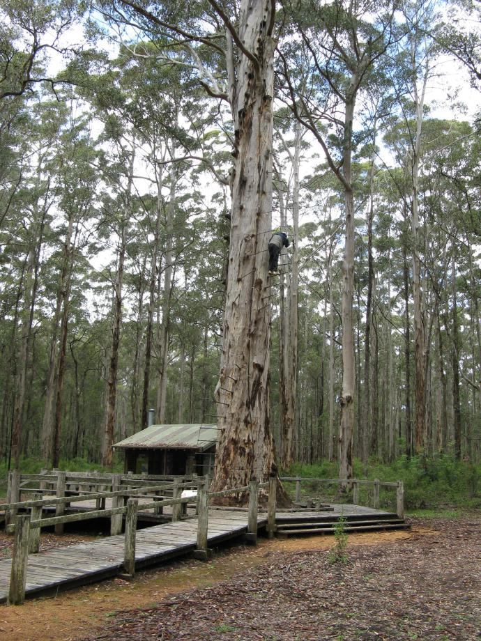 51 metre high Karri tree used as a fire look-out