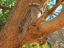 Can you see Tawny frog-mouth?