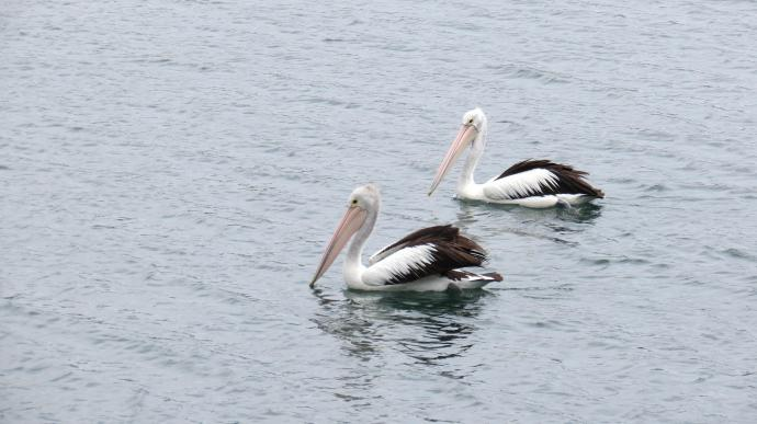 Pelicans float majestically by