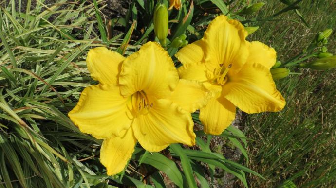 The day lilies are beautiful
