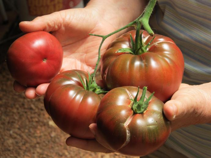 Just look at these beautiful Russian Red tomatoes