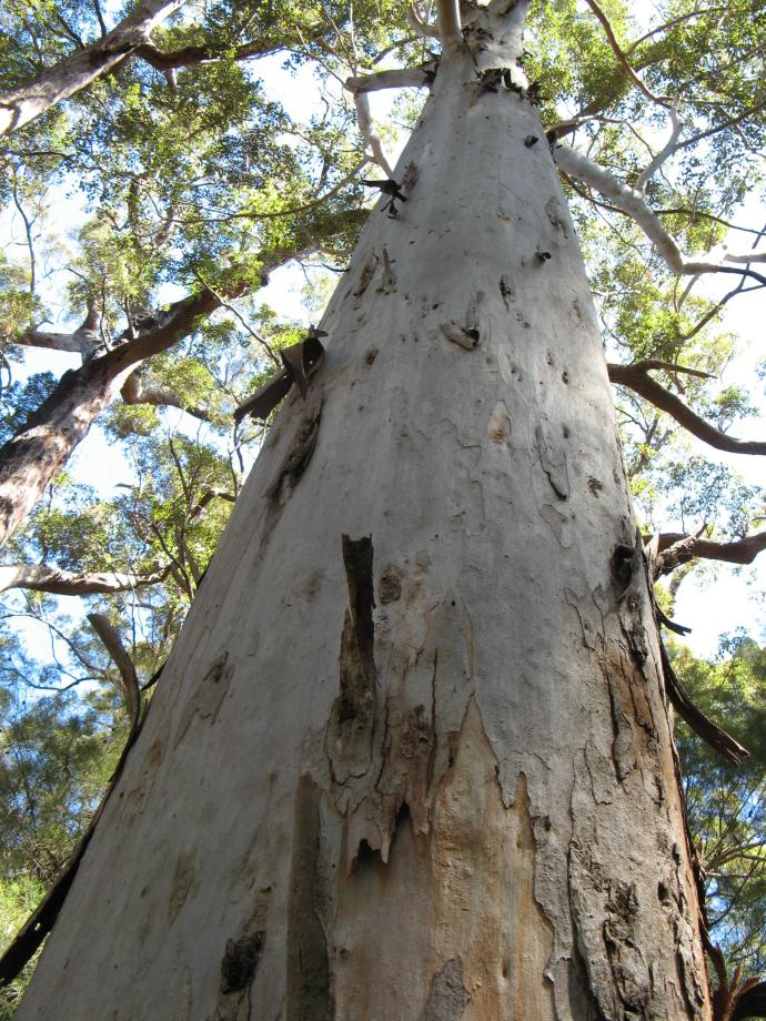 The mighty Karri tree