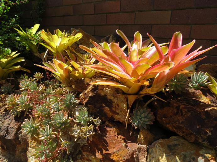 Bromeliads and succulents love this hot dry weather