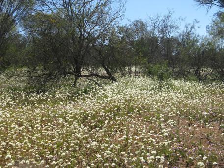 Kalbarri flower