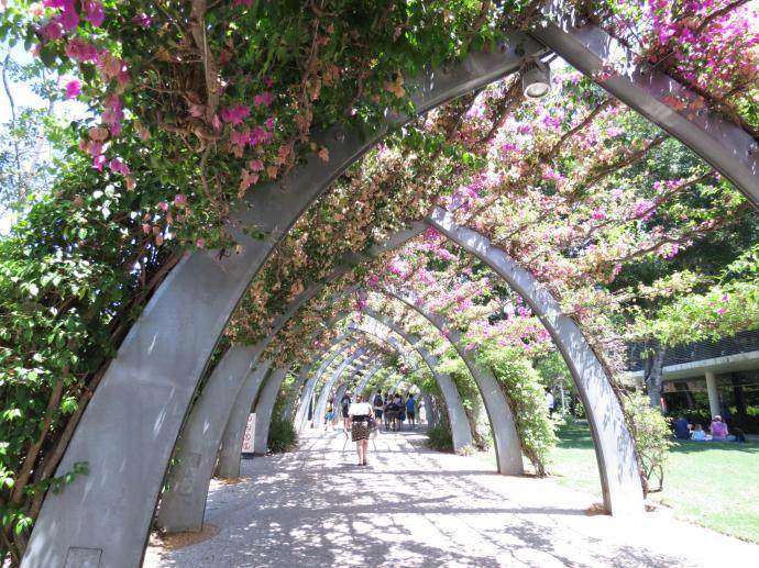 An arch of bougainvillia