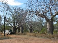 Northern Territory Boabs