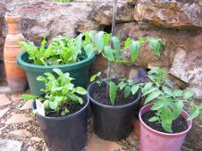Black Russian tomatoe cuttings I brought home from the house sit at Malanda