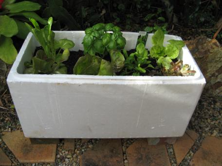 Using a broccoli box from the fruit and veg shop to grow lettuce