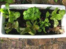 Lettuce,rocket and basil in a Styrofoam box