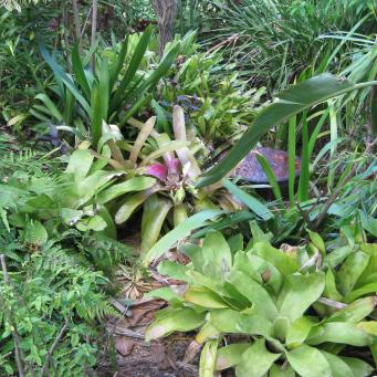 Can you see the palm stump almost hidden by bromeliads