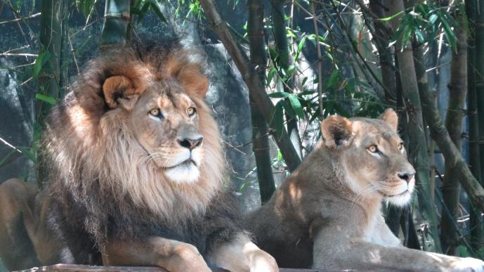 Then we came to the lions den. How majestic they look.
