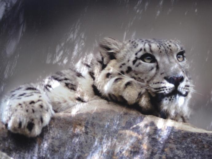 The stunning snow leopard
