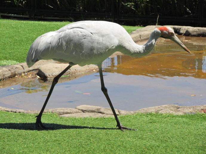 The brolga strides by