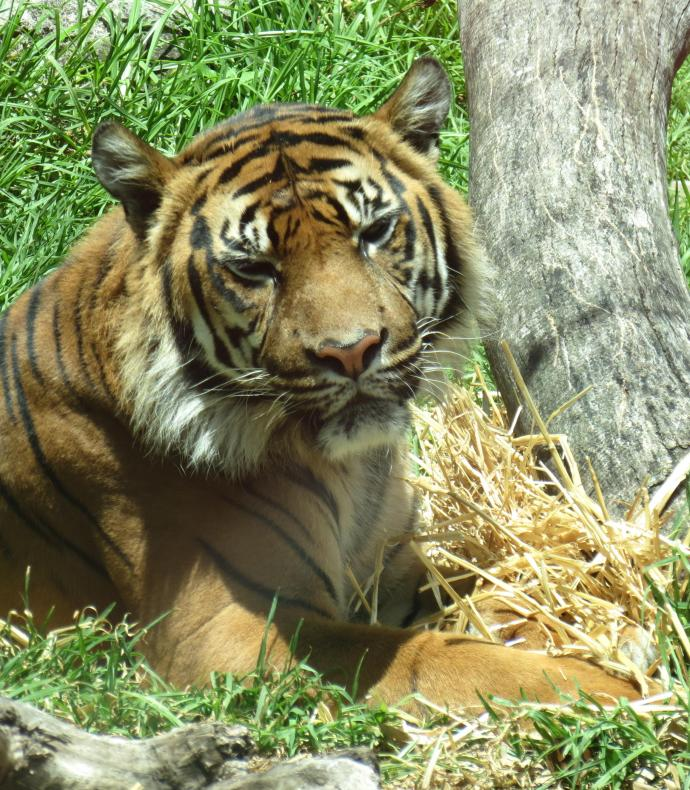 As I took this photo of the Sumatran tiger my batteries ran out