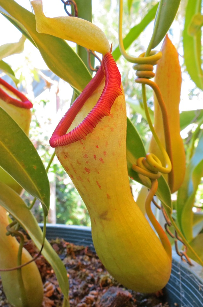Nepenthes, insect eating pitcher plant