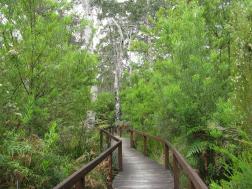 board walks wind through the forest